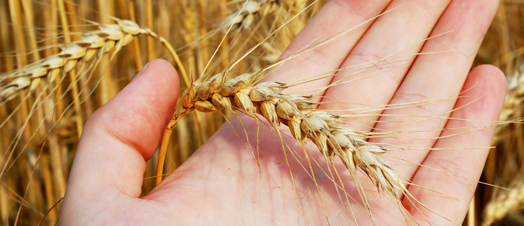 Seleccionamos los mejores granos para la elaboración de los mejores piensos.